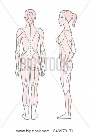 Template. Scheme Of The Musculature Of A Woman. Side And Rear View. Vector. Isolated On White Backgr