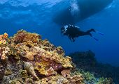 Triton Trumpet and Scuba Diver in Hawaii poster