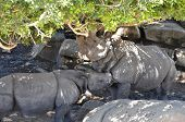two greater one-horned rhinoceros in a grove of trees and boulders poster