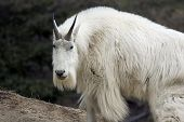Mountain goat shot in Yoho National Park Alberta poster