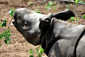 Greater One-horned Rhino (rhinoceros Unicornis) Eats Leaves From A Branch.