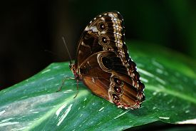Brown Butterfly Sitting On Green Leaf With Wings Closed.