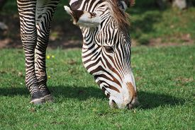 Close-up Of A Zebra Grazing In The Sunshine.