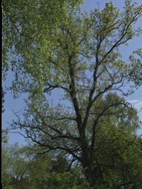 Tall Tree With Rich Green Leaves Against A Blue Summer Sky. Taken At Delamere Forest Near Frodsham (