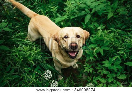 Beautiful Big Dog Strolling On Meadow With Flowers