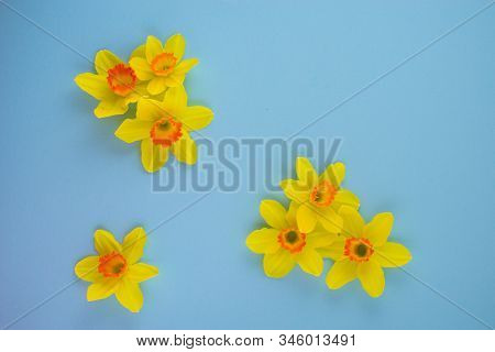 Spring Easter Background With Daffodils Or Narcissus On Turquoise Background. Fresh Daffodils Flower
