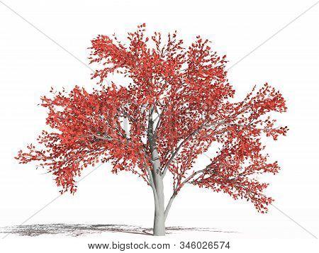 Amelanchier Arborea Tree In Autumn. Amelanchier Arborea (downy Serviceberry Or Common Serviceberry)