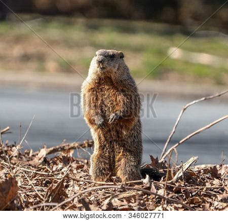 Groundhog (marmota Monax) Looking For His Shadow On A Spring Morning.