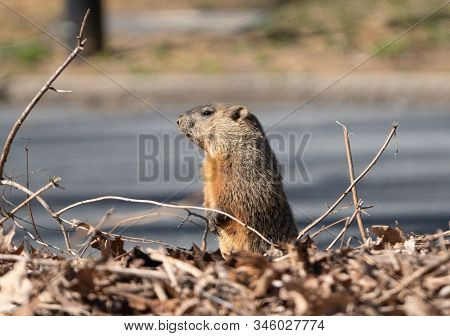 Side View Of Groundhog (marmota Monax), Berks County, Pennsylvania.