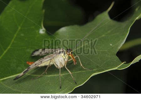 Common Scorpionfly (Panorpa communis) - female on a leaf poster