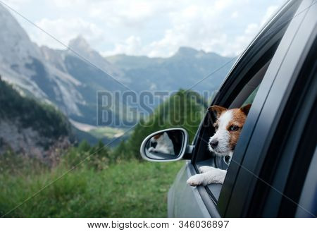 Trip With A Dog In The Car. Traveling With A Pet. Jack Russell Terrier At The Wheel. Adventure In Th