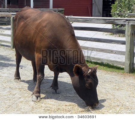 Dexter Cow