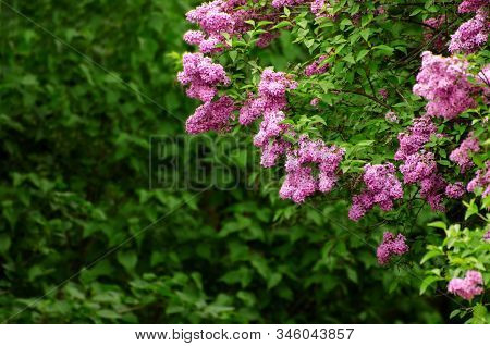 Lilac Flowers Blooming In The Spring Garden. Lilac Flower Blossoms Against Blurred Background, Space
