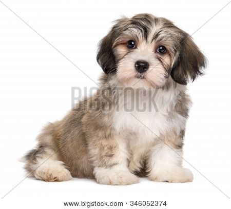 Cute Sitting Little Havanese Puppy Dog - Isolated On White Background
