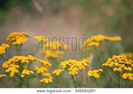 Field Of Tansy Or Tanacetum Vulgare Herbaceous Flowering Plant Of The Aster Family. Common Tansy, Pi