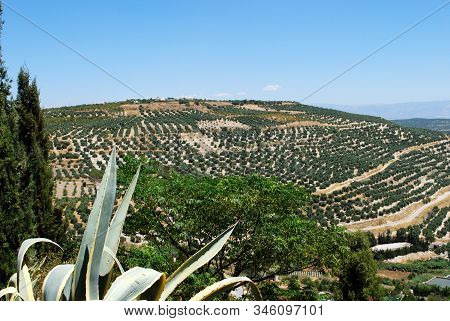 View Of Olive Groves And Countryside, Ubeda, Andalucia, Spain.