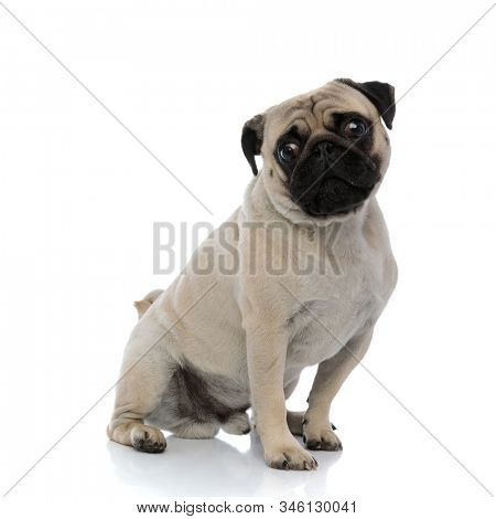Unsure pug looking around and waiting while sitting on white studio background