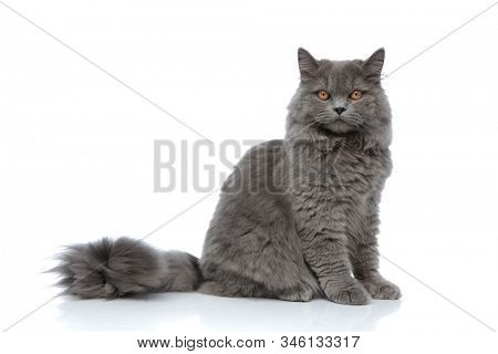 superb british longhair cat with gray fur sitting one way and looking the other serious against white studio background