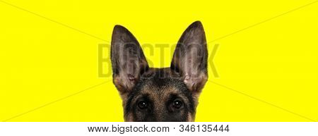 close up of an adorable german shepherd dog with brown fur looking at camera with face partially hidden on yellow studio background