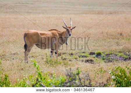 Magnificent trip to the African savannah. Kenya. Antelope from the bovine family - Eland Kanna. The largest antelope in the world. Ecological, active and phototourism concept