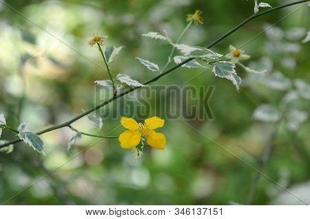 Variegated Japanese Rose - Latin Name - Kerria Japonica Variegata