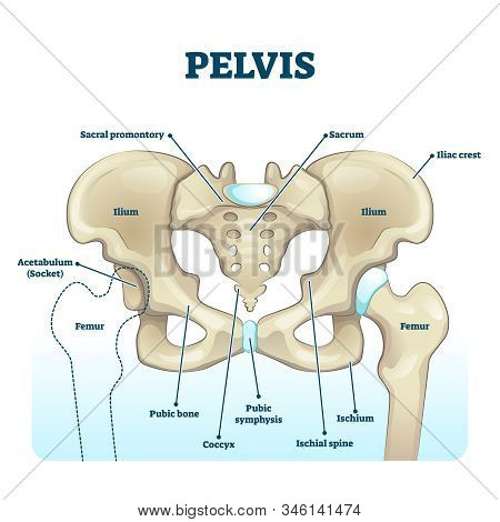 Pelvis Anatomical Skeleton Structure. Labeled Vector Illustration Diagram. Medical Education Scheme