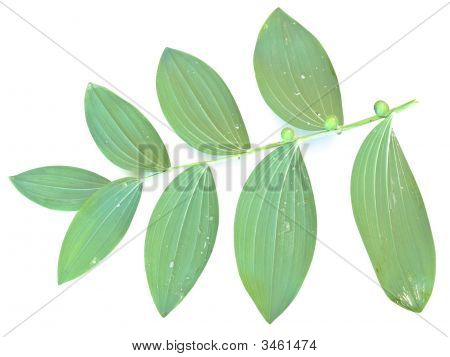 Mezereon Leaf
