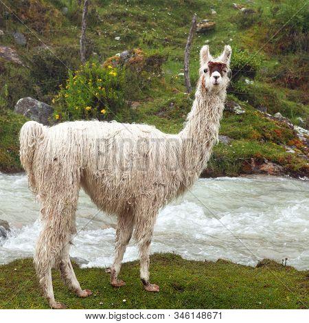Llama Or Lama, One Animal Portrait, Andes Mountains, Peru