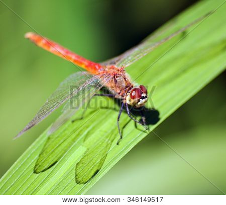 Red Dragonfly On Green Background Insect On Leaf
