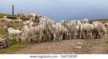 Llama Or Lama, Herd Of Lamas On Pastureland,  Andes Mountains, Peru