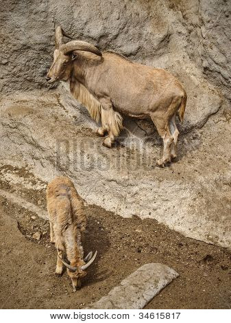 Mountain goats climbing on a cliff together poster