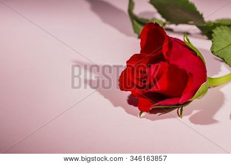 Valentines Day Background With Red Rose Flower On Pink Background, Love Concept Card Design With Cop