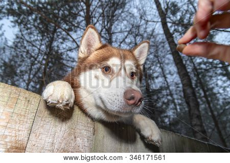 Stealing Husky Dog From The Yard. Siberian Husky Want To Steal. Pet Reaches Over The Fence For Tasty