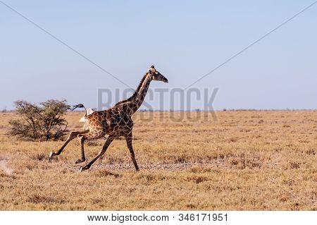 A Galloping Giraffe - Giraffa Camelopardalis- On The Plains Of Etosha National Park, Namibia.