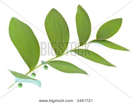 Single Mezereon Leaf