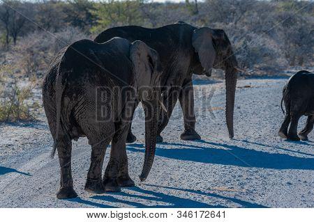 A Herd Of African Elephants -loxodonta Africana- Walking Past After Having Taken A Bath In A Waterho