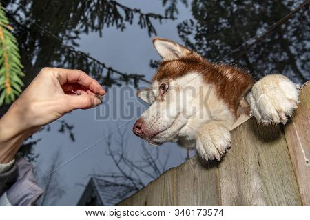 Thief Lures The Dog Out The Fence With Bait. Husky Dog Stands With Its Front Paws On The Fence And R