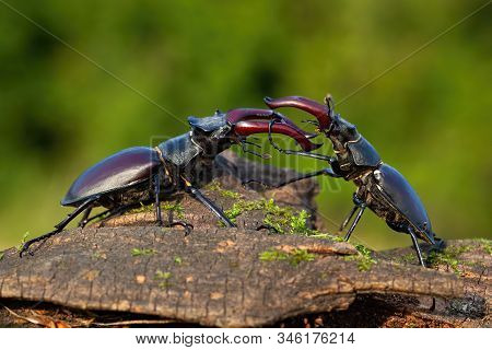 Majestic Stag Beetles Standing Against Each Other Ready To Fight