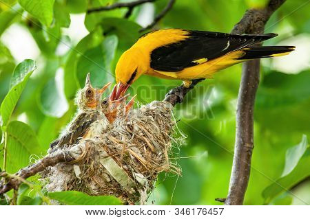 Yellow Golden Oriole Feeding Its Younglings On Nest In Summer