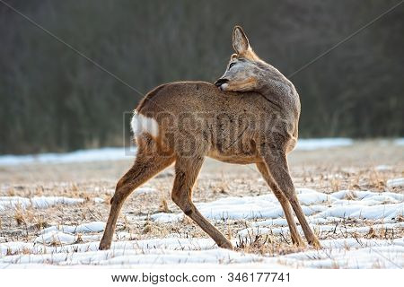 Roe Deer Buck Licking Its Fur To Clean It In Winter Nature