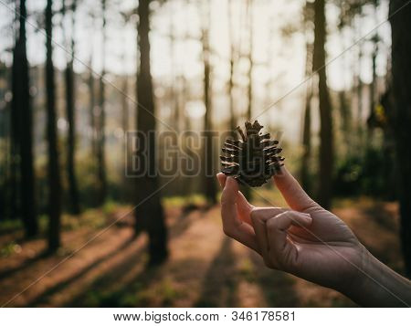 Close Up And Side View Image Of Woman Hand Holding Dry Pinecone Against Blurred Bokeh Background Of
