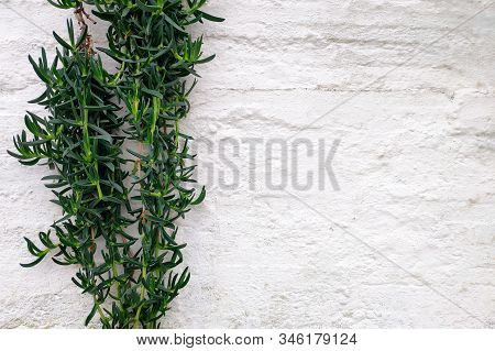 Succulent Creeper (carpobrotus Edulis) Against A White Wall On A Sunny Day. Greece. Copy Space.