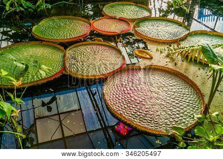 Closeup Of A Victoria Amazonica Longwood Hybrid, Tropical Water Lilly Plant With Huge Leaves