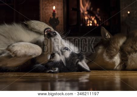 Dogs Lie In Front Warm Burning Fireplace On Winter Night. Husky Dog Lying On His Back, Holding Up Th