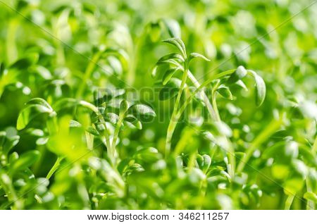 Garden Cress Sprouts, Macro Food Photo. Front View Of Cress, Also Pepperwort Or Peppergrass, Lepidiu