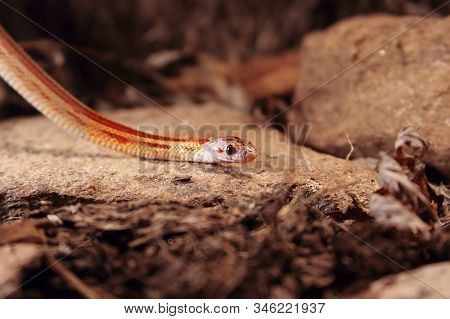 The Corn Snake (pantherophis Guttatus Or Elaphe Guttata) Is Lying On The Stone, Dry Grass And Dry Le