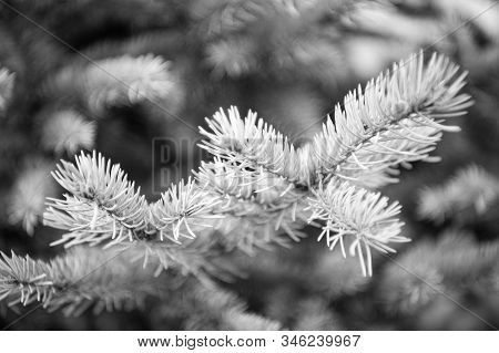 Winter Is Coming. Branches Of Pine Spruce Close Up. Coniferous Evergreen Spruce Tree. Symbolizing Im