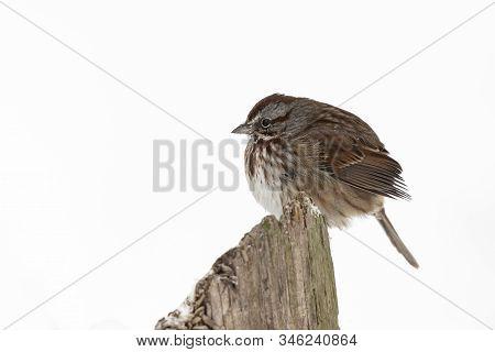Song Sparrow Bird At Richmond Bc Canada