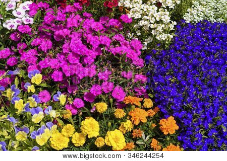 Flowers In Bloom. Beautiful Garden On A Sunny Day. Group Of Bloom Pansy Flowers And Other Amazing Pl