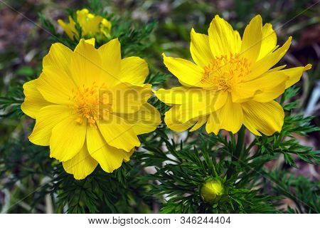 Top View Of Flowers Adonis Vernalis, Known As Pheasants Eye, Spring Pheasants Eye, Yellow Pheasants